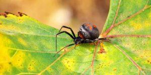 Todas las arañas son venenosas